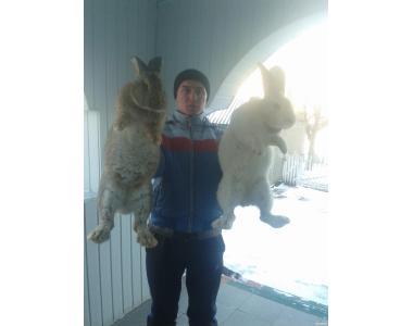 Кролики мясных пород Бельгийский великан (Фландар)