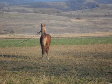 Лошак (кастрірований). Висота-155 см.