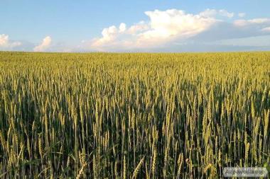 Семена канадской пшеницы Арвада, Толедо, Тесла, Омаха