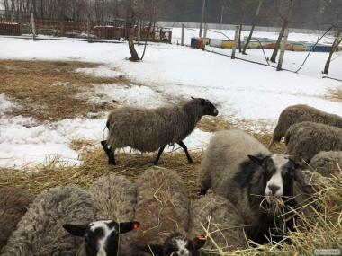 куплю Романовскую породу овец  самовывозом,  60 гр живо