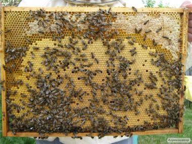 Продам бджолопакети карпатської породи.