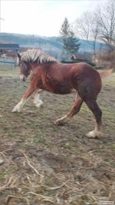 Продам коня, новоолександріївський ваговоз