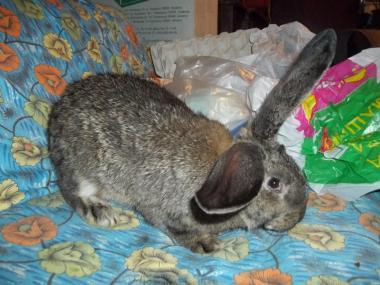 Чистопородный кроль,самец фландр, ризен,обр,бельгийский великан