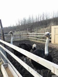 продам самців страуса або поміняю на страусиху