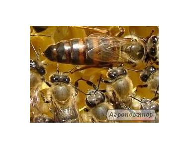 пчеломатки Бакфаст Ф1