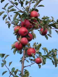 Саджанці яблуні дворічні