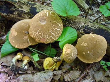 Мицелий Моховика пестрого / Боровик пастбищный (Xerocomus chrysenteron)