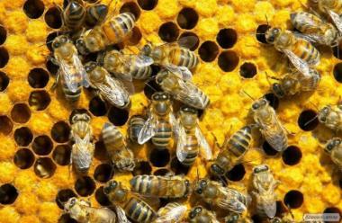 Продам пчелосемьи. Тернопольская область. Недорого