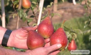 Саджанці груші сорту Диколор, від виробника