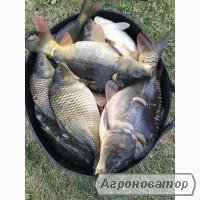 Продам товарну рибу ( короп, амур)