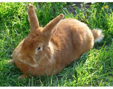 Продам кролики серебристые и новозеландские