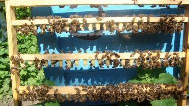 Бджолине маточне молочко в маточниках