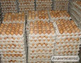 Яйцо инкубационное Ломан-Браун.