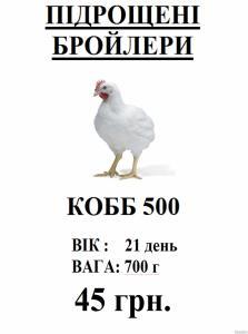подрощенные бройлеры Cobb 500