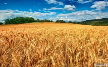 Продам пшеницю, сільгоспвиробник, 2, 3, 6 класу врожаю 2017 року.