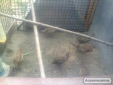 Молодняк мисливського фазана