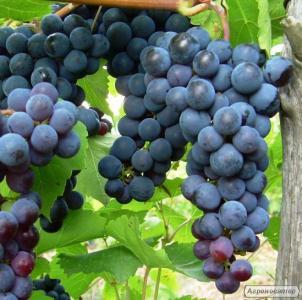 Продам виноград (Изабелла) 200-300кг..