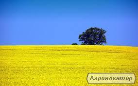 Семена рапса Блекстоун (ВНИС)