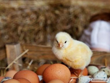 Инкубационное яйцо бройлера РОСС-308, РОСС-708 и КОББ-500