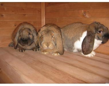 Кролики (Французский баран)