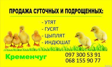 Суточные и подрощенные цыплята