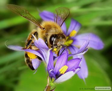 Продам бджолосім'ї 10 шт.. Сім'я з 10 рамок. Карпатської породи.