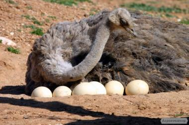 Страусиные яйца от страусиной фермы