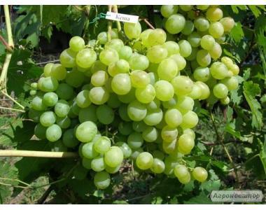 Саженцы винограда сорт Кеша