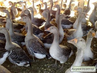 Продаємо дорослих великих сірих гусей !!!!