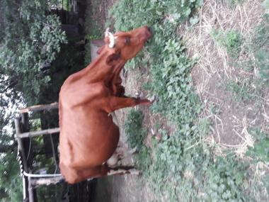 Терміново продам корову !!! 15 000 грн.