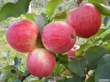 Продам Яблука опт з саду