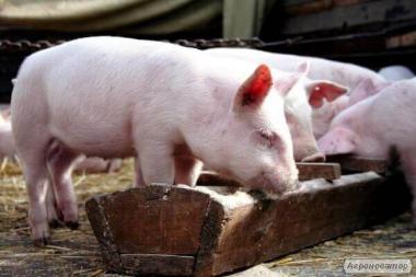 Продается поросенок мясной породы