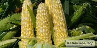 Продам власну кукурудзу, 80 тонн, Харківська обл