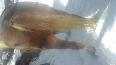Продам коня....10 лет...детали по телефону.