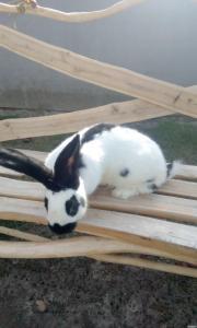 Продаються кролики породи : Німецький Велетень (строкач), Бургундські