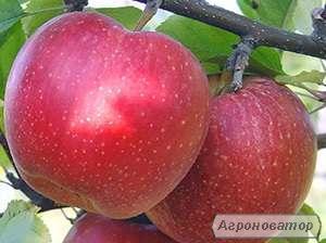 Яблоня джонаголд декоста (однорічні та дворічні)