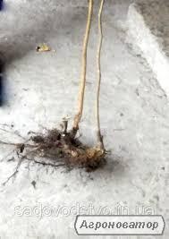 Саджанці фундука,вегетативні відводки.