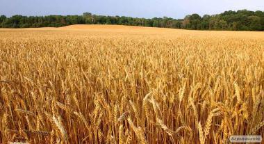Продам Пшеницу Озимую Посевную