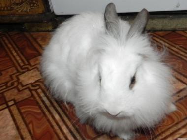 кролик декоративний пухнастий 6міс
