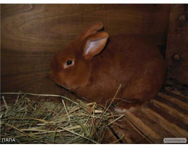 Продам кроликів-САМЦІВ (новозеладский червоний)