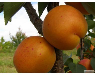 Саженцы абрикоса сорта Харгранд от производителя, отличного качества.