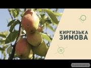 саженцы груши Киргизская зимняя Яблоновская