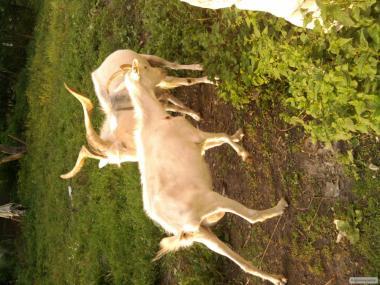 продаю племінні кози різні породи