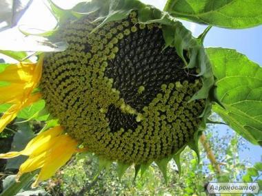 семена подсолнечника (гибрид) «Толедо»
