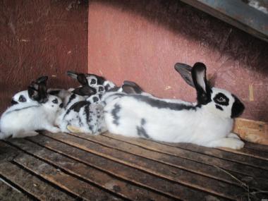 молодое поголовье кроликив мсных пород