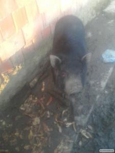 Продам Свинью вєтнамку