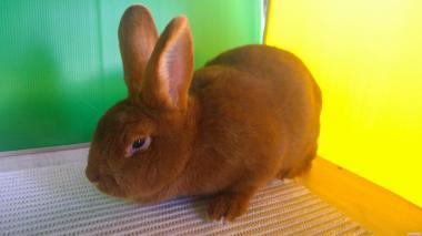 Кролики мясо-шкурковых пород Новозеландский красный