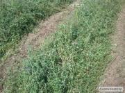 Продам сено люцерны VERKO 19-25 грн. в тюках, укос 2016г