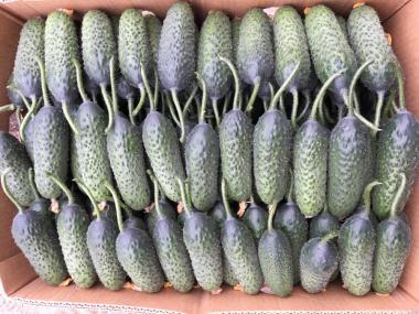 Продам свіжий огірок