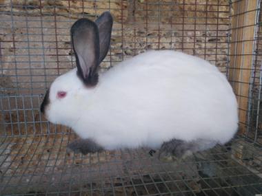 Продам кролів каліфорнійської породи